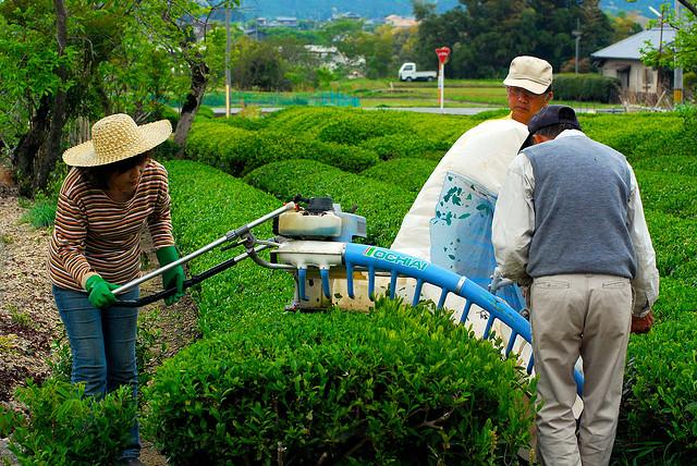 tea harvest2