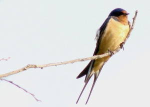 swallow